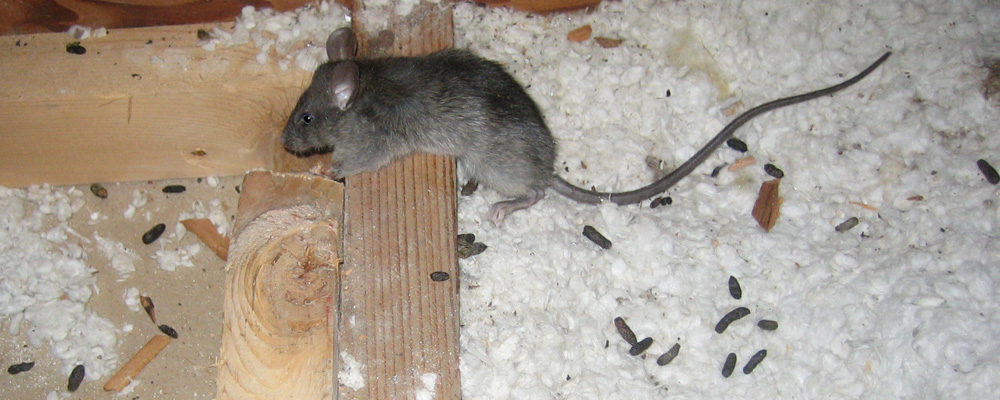 Rodent Droppings Cleanup NYC Long Island